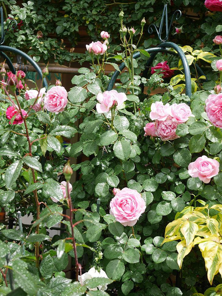ジュビレ・アンペリアル(Jubile Imperial)の花がたくさん咲いた。半ツルバラ。2021年-041.jpg
