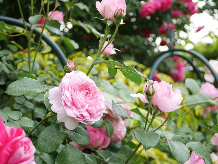 ジュビレ・アンペリアル(Jubile Imperial)の花がたくさん咲いた。半ツルバラ。2021年-042.jpg