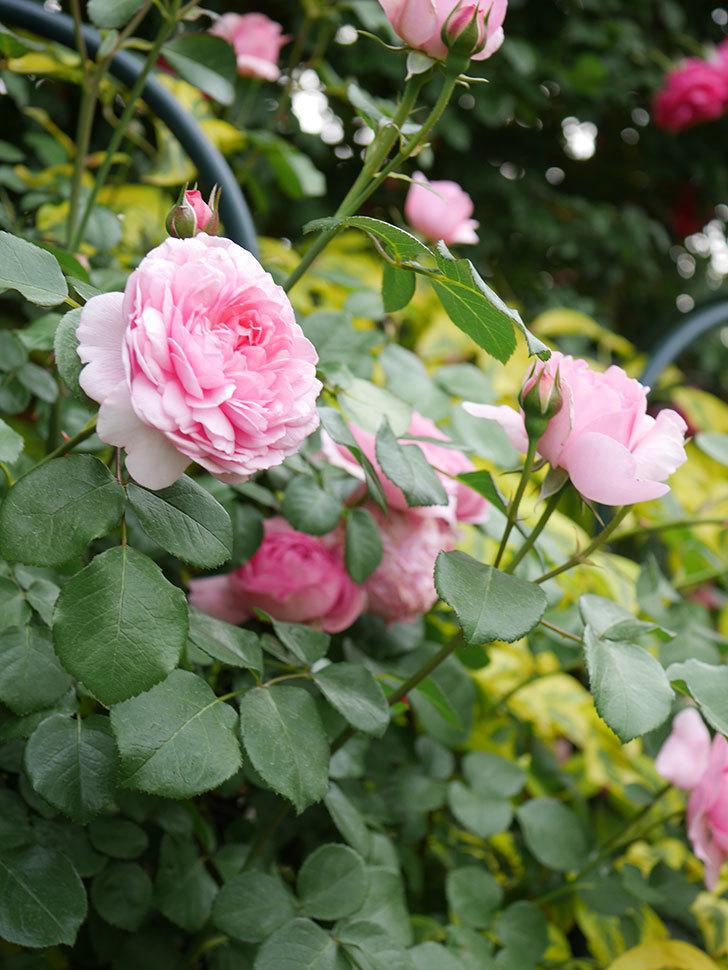 ジュビレ・アンペリアル(Jubile Imperial)の花がたくさん咲いた。半ツルバラ。2021年-043.jpg