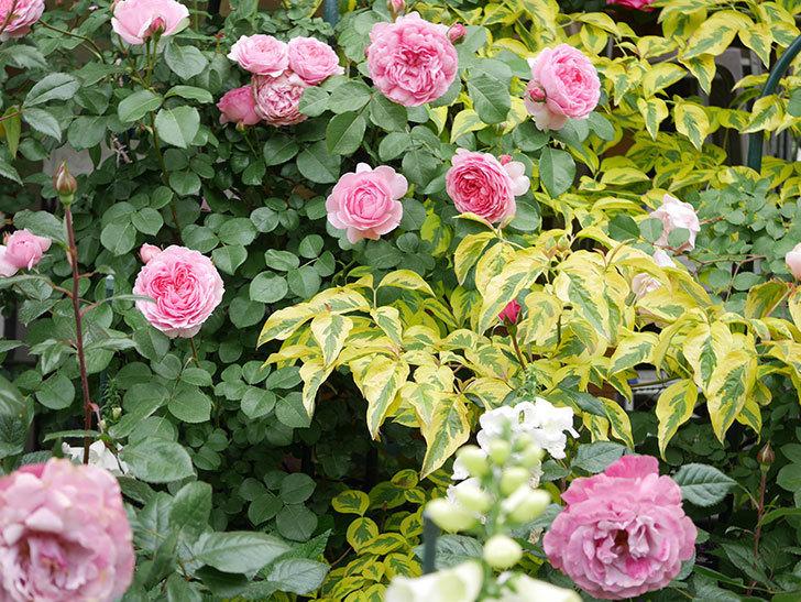 ジュビレ・アンペリアル(Jubile Imperial)の花がたくさん咲いた。半ツルバラ。2021年-044.jpg