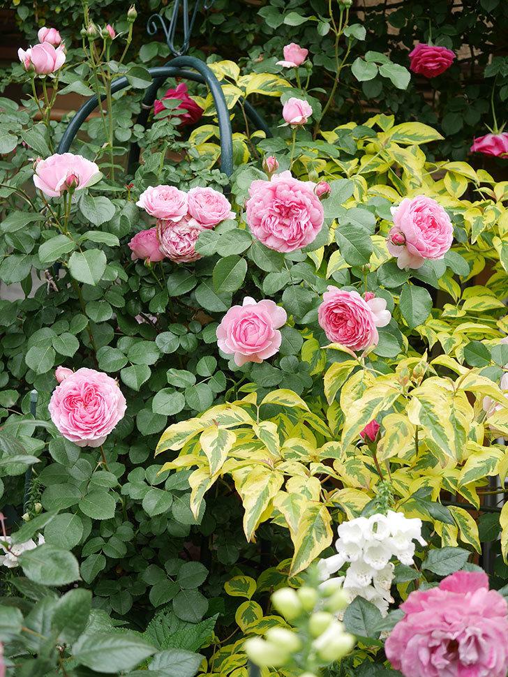 ジュビレ・アンペリアル(Jubile Imperial)の花がたくさん咲いた。半ツルバラ。2021年-045.jpg