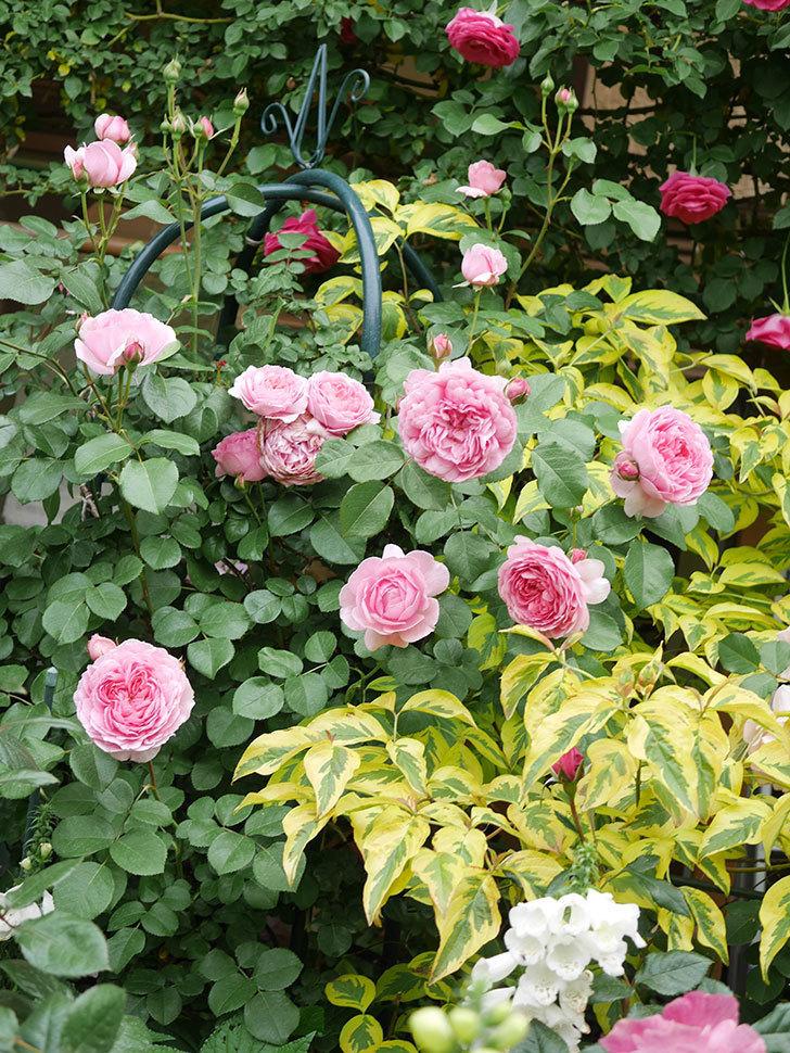 ジュビレ・アンペリアル(Jubile Imperial)の花がたくさん咲いた。半ツルバラ。2021年-046.jpg