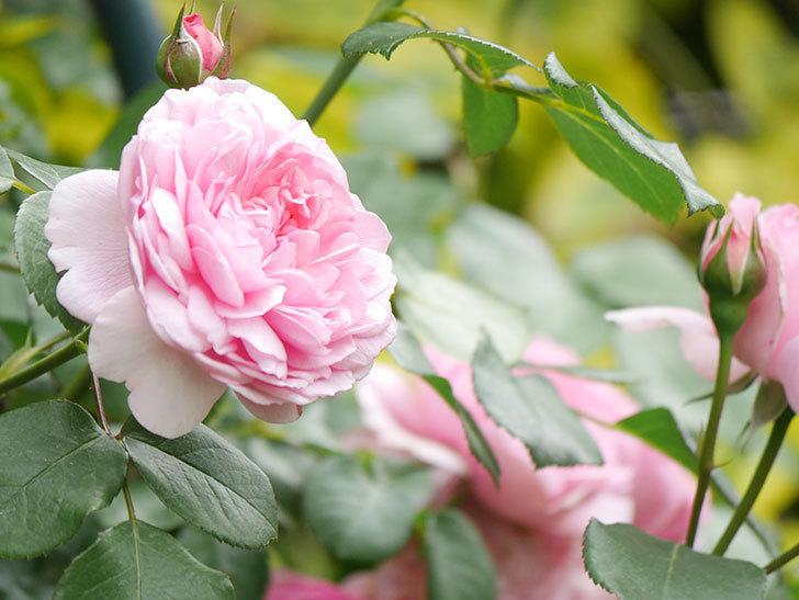 ジュビレ・アンペリアル(Jubile Imperial)の花がたくさん咲いた。半ツルバラ。2021年-047.jpg
