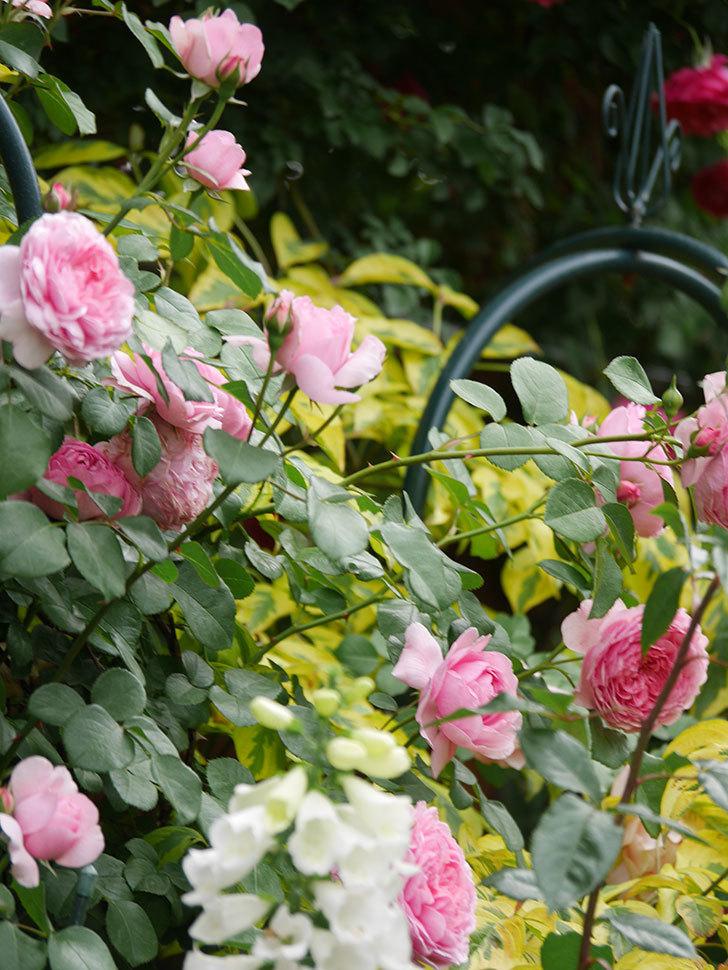 ジュビレ・アンペリアル(Jubile Imperial)の花がたくさん咲いた。半ツルバラ。2021年-048.jpg