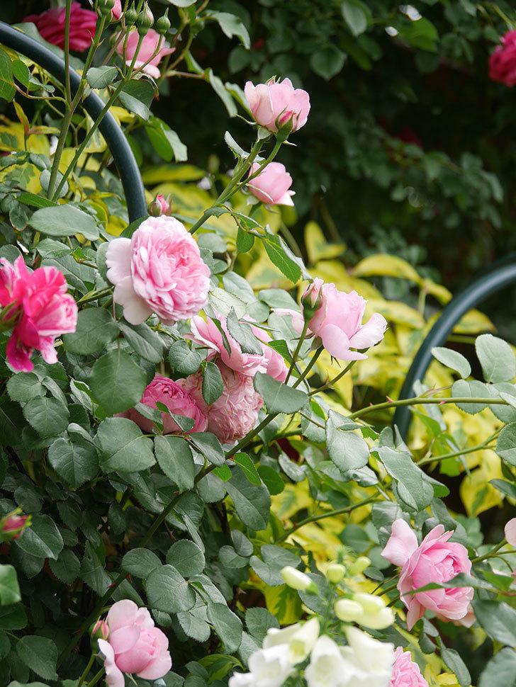 ジュビレ・アンペリアル(Jubile Imperial)の花がたくさん咲いた。半ツルバラ。2021年-049.jpg
