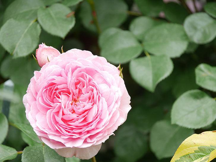 ジュビレ・アンペリアル(Jubile Imperial)の花がたくさん咲いた。半ツルバラ。2021年-051.jpg