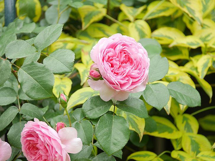 ジュビレ・アンペリアル(Jubile Imperial)の花がたくさん咲いた。半ツルバラ。2021年-055.jpg