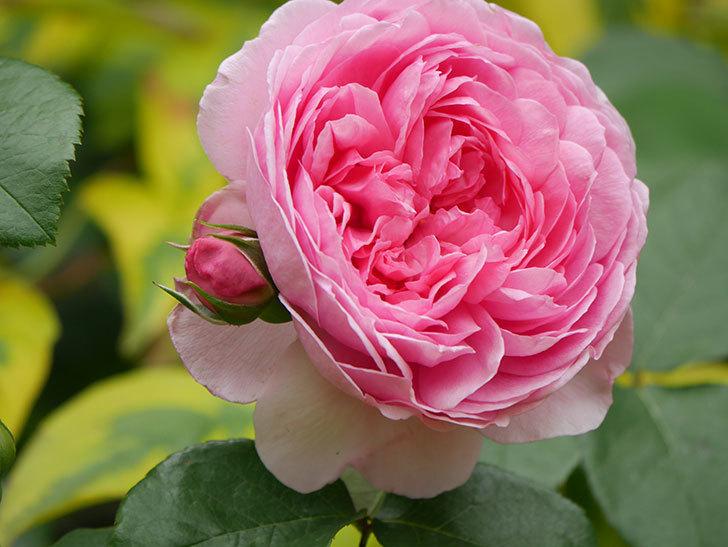 ジュビレ・アンペリアル(Jubile Imperial)の花がたくさん咲いた。半ツルバラ。2021年-056.jpg