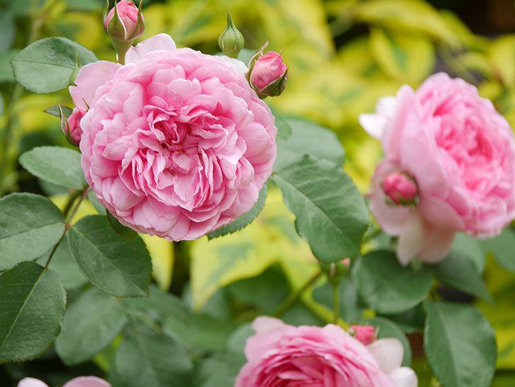 ジュビレ・アンペリアル(Jubile Imperial)の花がたくさん咲いた。半ツルバラ。2021年-060.jpg