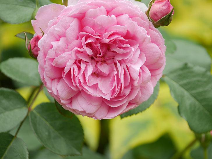 ジュビレ・アンペリアル(Jubile Imperial)の花がたくさん咲いた。半ツルバラ。2021年-061.jpg