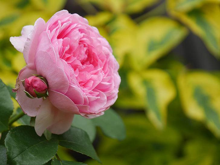 ジュビレ・アンペリアル(Jubile Imperial)の花がたくさん咲いた。半ツルバラ。2021年-062.jpg