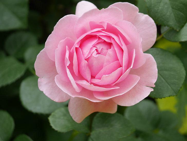 ジュビレ・アンペリアル(Jubile Imperial)の花がたくさん咲いた。半ツルバラ。2021年-063.jpg