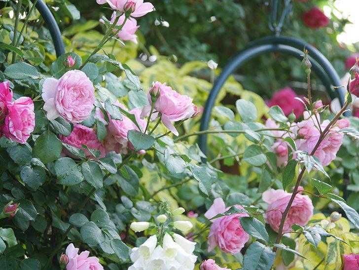 ジュビレ・アンペリアル(Jubile Imperial)の花がたくさん咲いた。半ツルバラ。2021年-064.jpg