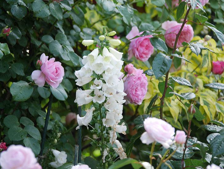 ジュビレ・アンペリアル(Jubile Imperial)の花がたくさん咲いた。半ツルバラ。2021年-065.jpg
