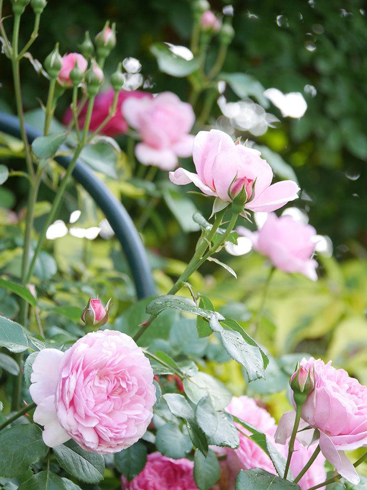 ジュビレ・アンペリアル(Jubile Imperial)の花がたくさん咲いた。半ツルバラ。2021年-067.jpg