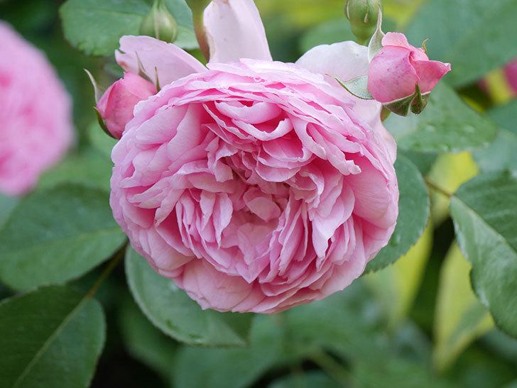 ジュビレ・アンペリアル(Jubile Imperial)の花がたくさん咲いた。半ツルバラ。2021年-068.jpg