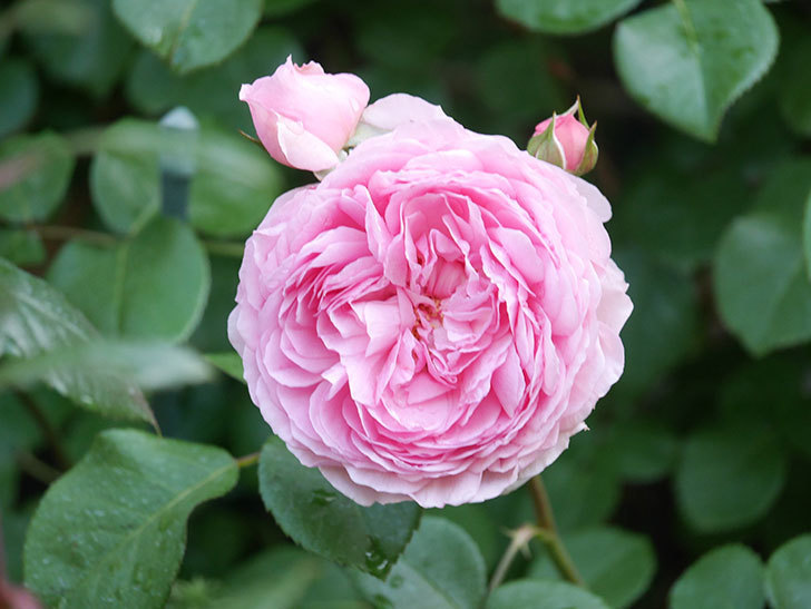 ジュビレ・アンペリアル(Jubile Imperial)の花がたくさん咲いた。半ツルバラ。2021年-069.jpg