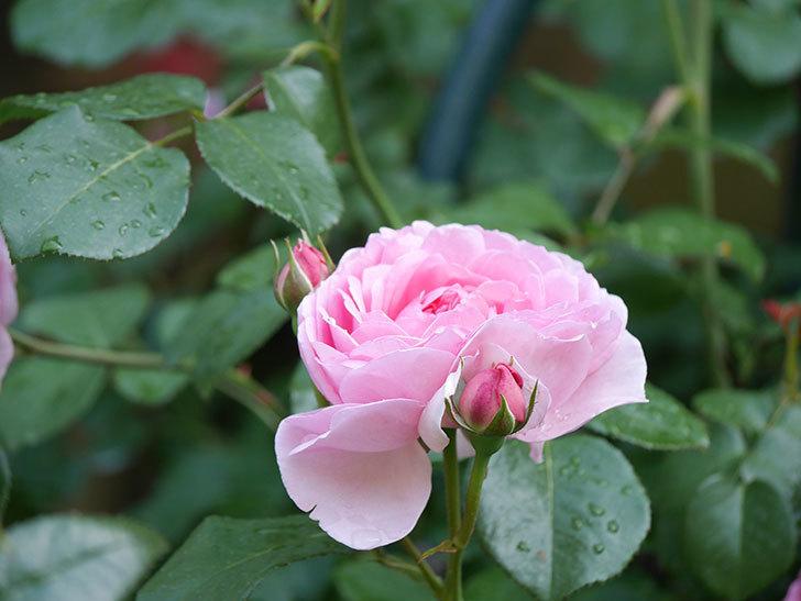 ジュビレ・アンペリアル(Jubile Imperial)の花がたくさん咲いた。半ツルバラ。2021年-070.jpg