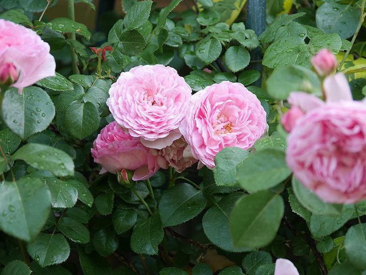 ジュビレ・アンペリアル(Jubile Imperial)の花がたくさん咲いた。半ツルバラ。2021年-071.jpg