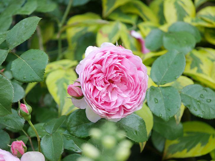 ジュビレ・アンペリアル(Jubile Imperial)の花がたくさん咲いた。半ツルバラ。2021年-072.jpg
