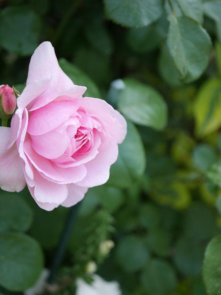 ジュビレ・アンペリアル(Jubile Imperial)の花がたくさん咲いた。半ツルバラ。2021年-073.jpg