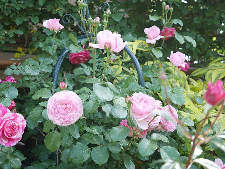ジュビレ・アンペリアル(Jubile Imperial)の花がたくさん咲いた。半ツルバラ。2021年-076.jpg