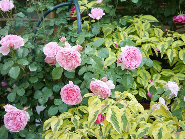 ジュビレ・アンペリアル(Jubile Imperial)の花がたくさん咲いた。半ツルバラ。2021年-078.jpg