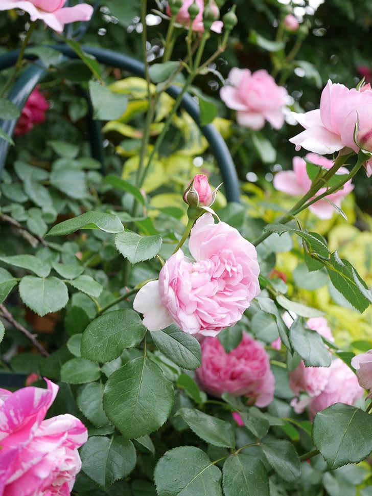 ジュビレ・アンペリアル(Jubile Imperial)の花がたくさん咲いた。半ツルバラ。2021年-080.jpg