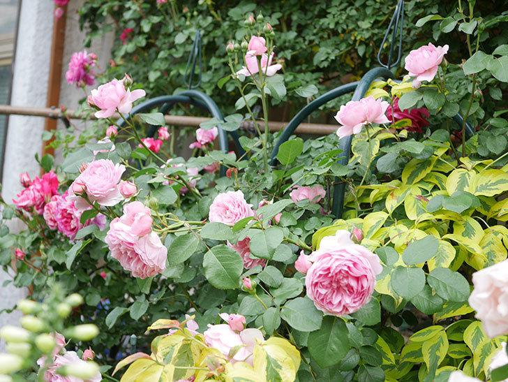 ジュビレ・アンペリアル(Jubile Imperial)の花がたくさん咲いた。半ツルバラ。2021年-081.jpg