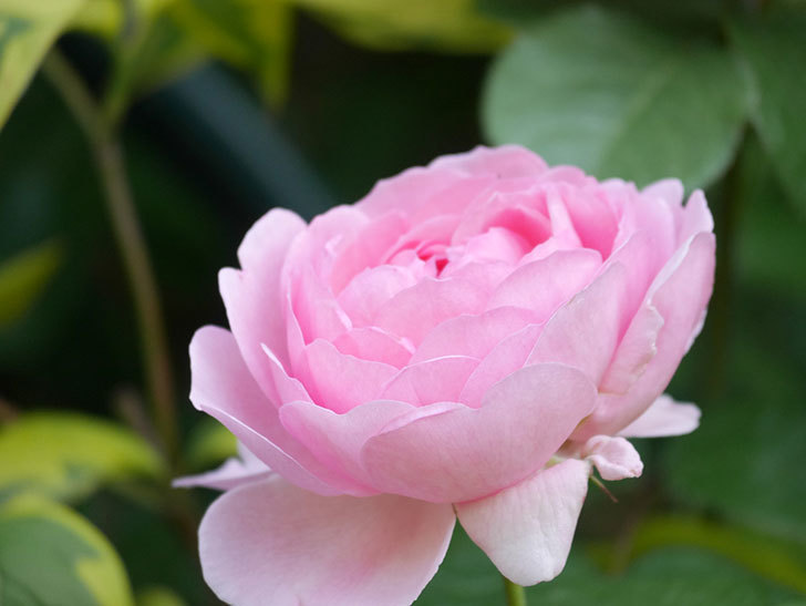 ジュビレ・アンペリアル(Jubile Imperial)の花がたくさん咲いた。半ツルバラ。2021年-082.jpg