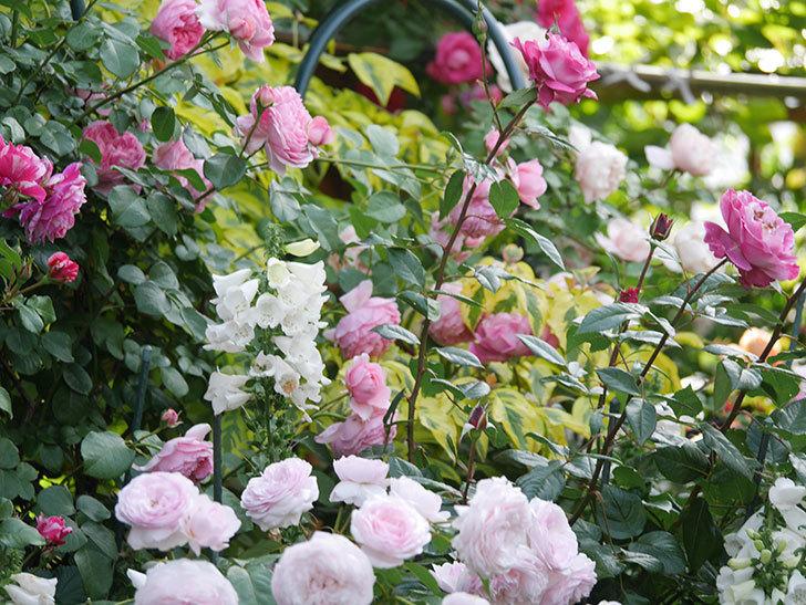 ジュビレ・アンペリアル(Jubile Imperial)の花がたくさん咲いた。半ツルバラ。2021年-084.jpg