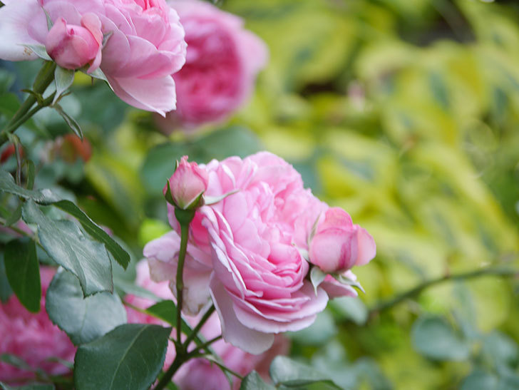 ジュビレ・アンペリアル(Jubile Imperial)の花がたくさん咲いた。半ツルバラ。2021年-086.jpg
