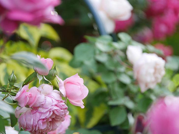 ジュビレ・アンペリアル(Jubile Imperial)の花がたくさん咲いた。半ツルバラ。2021年-087.jpg