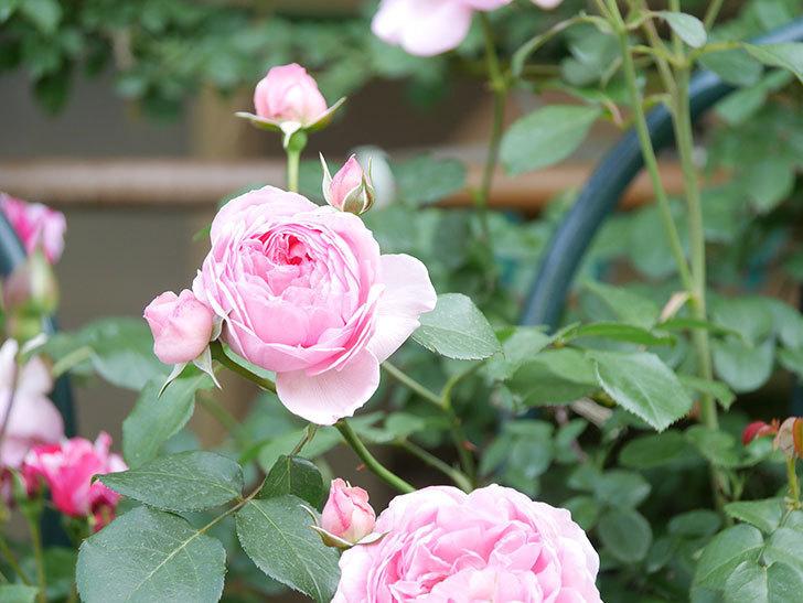 ジュビレ・アンペリアル(Jubile Imperial)の花がたくさん咲いた。半ツルバラ。2021年-088.jpg