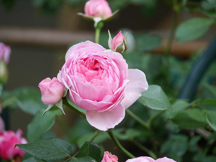 ジュビレ・アンペリアル(Jubile Imperial)の花がたくさん咲いた。半ツルバラ。2021年-089.jpg