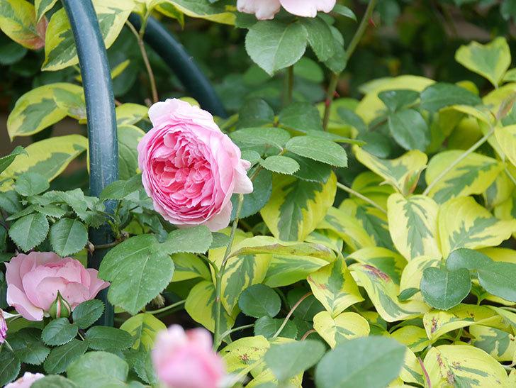 ジュビレ・アンペリアル(Jubile Imperial)の花がたくさん咲いた。半ツルバラ。2021年-091.jpg