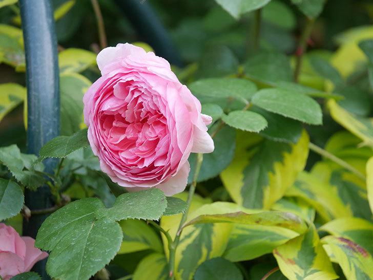 ジュビレ・アンペリアル(Jubile Imperial)の花がたくさん咲いた。半ツルバラ。2021年-092.jpg