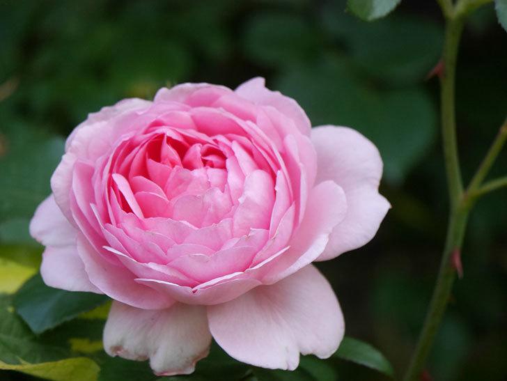 ジュビレ・アンペリアル(Jubile Imperial)の花がたくさん咲いた。半ツルバラ。2021年-093.jpg