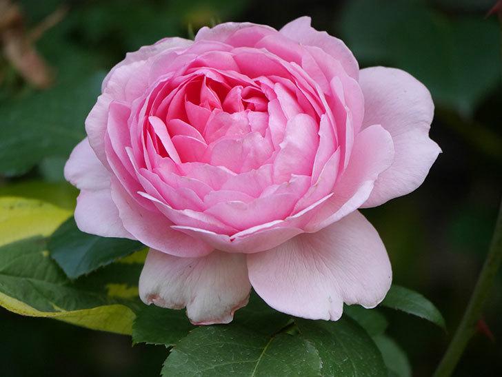 ジュビレ・アンペリアル(Jubile Imperial)の花がたくさん咲いた。半ツルバラ。2021年-094.jpg