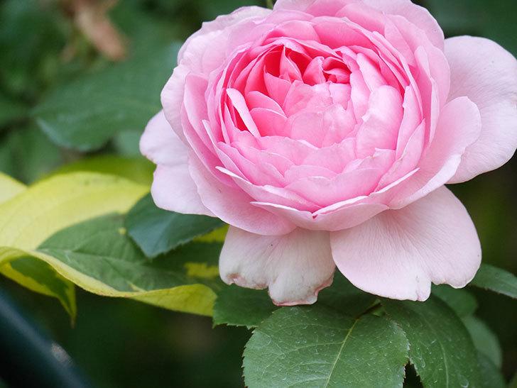 ジュビレ・アンペリアル(Jubile Imperial)の花がたくさん咲いた。半ツルバラ。2021年-095.jpg