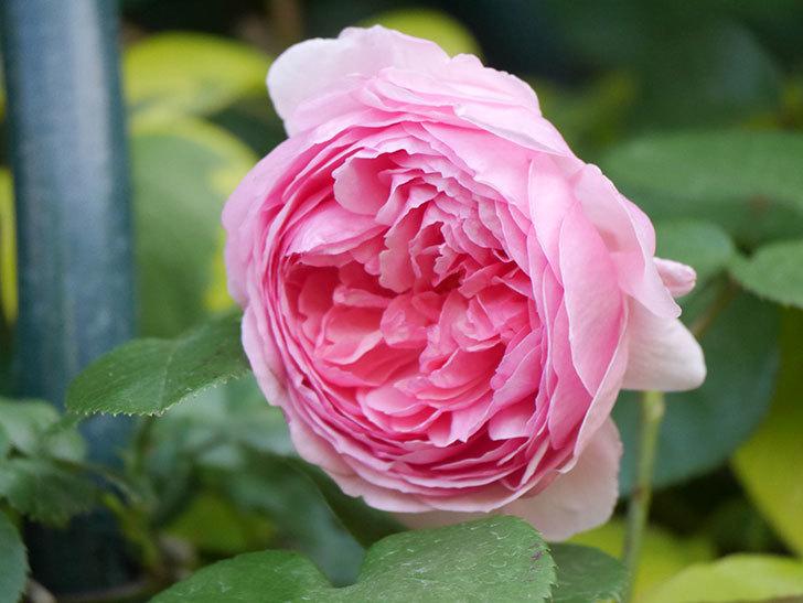 ジュビレ・アンペリアル(Jubile Imperial)の花がたくさん咲いた。半ツルバラ。2021年-096.jpg