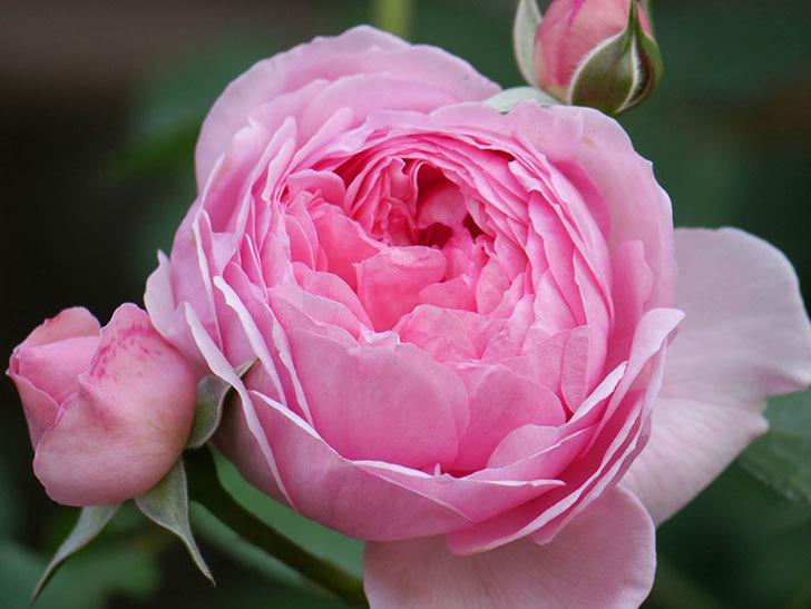 ジュビレ・アンペリアル(Jubile Imperial)の花がたくさん咲いた。半ツルバラ。2021年-097.jpg