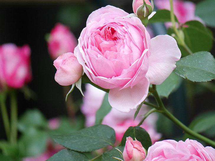 ジュビレ・アンペリアル(Jubile Imperial)の花がたくさん咲いた。半ツルバラ。2021年-099.jpg