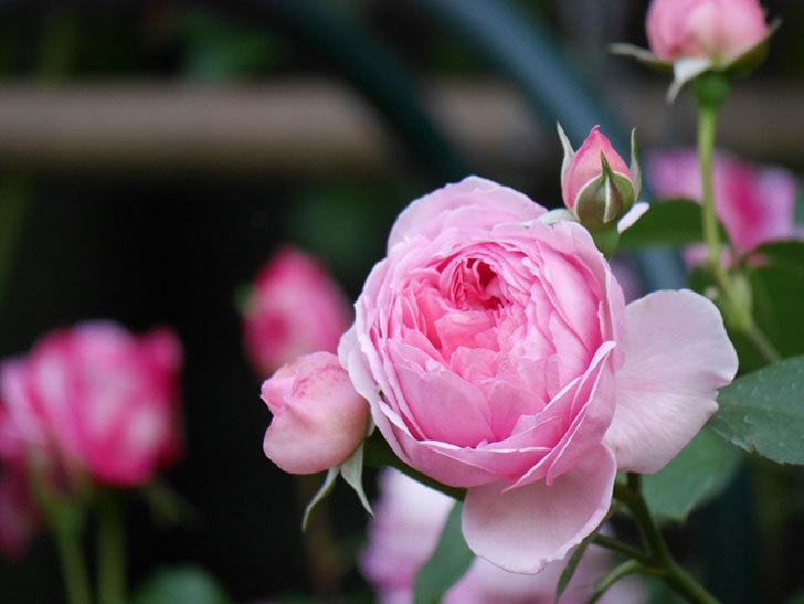 ジュビレ・アンペリアル(Jubile Imperial)の花がたくさん咲いた。半ツルバラ。2021年-100.jpg