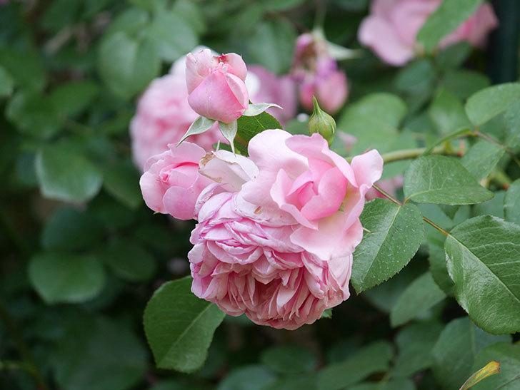 ジュビレ・アンペリアル(Jubile Imperial)の花がたくさん咲いた。半ツルバラ。2021年-101.jpg