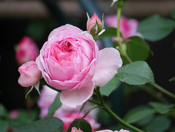 ジュビレ・アンペリアル(Jubile Imperial)の花がたくさん咲いた。半ツルバラ。2021年-102.jpg