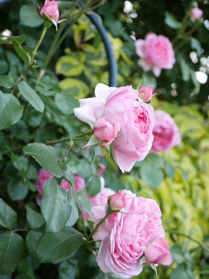 ジュビレ・アンペリアル(Jubile Imperial)の花がたくさん咲いた。半ツルバラ。2021年-103.jpg