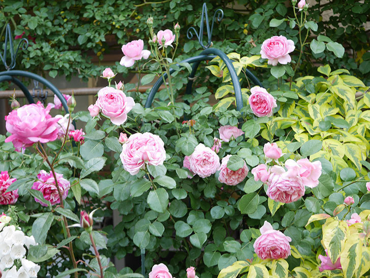 ジュビレ・アンペリアル(Jubile Imperial)の花がたくさん咲いた。半ツルバラ。2021年-105.jpg