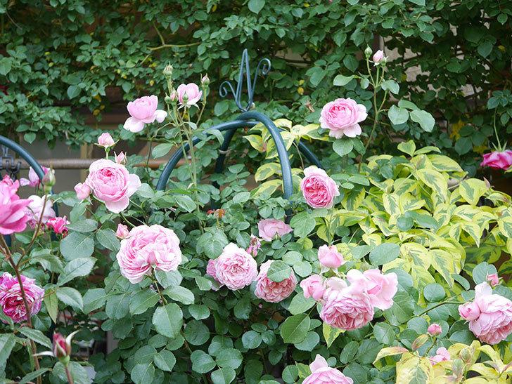 ジュビレ・アンペリアル(Jubile Imperial)の花がたくさん咲いた。半ツルバラ。2021年-106.jpg