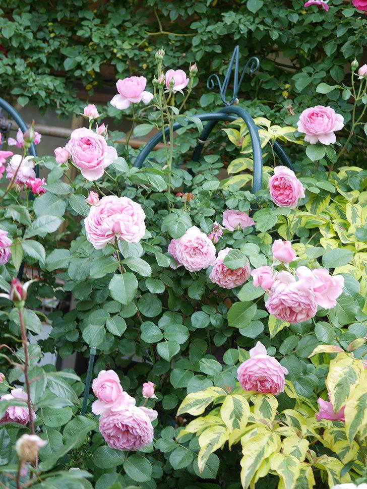 ジュビレ・アンペリアル(Jubile Imperial)の花がたくさん咲いた。半ツルバラ。2021年-107.jpg